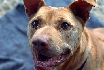 Senior pitbull for adoption Escondido