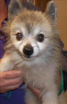 Senior Pom mix for adoption at San Diego Humane Society