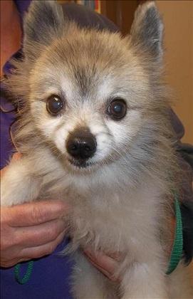 Senior Pom mix for adoption at San Diego Humane Society