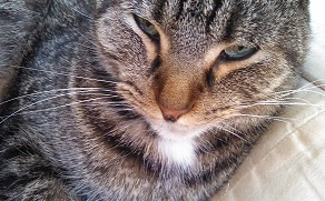 Scout the gray tabby cat