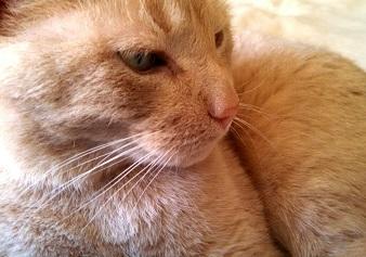 Beamer the tan tabby cat