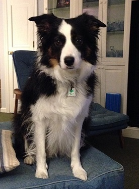 Roxy the border collie sitting on a chair