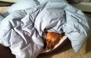 Does your dog steal your blankets?