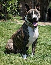 chestnut the brindle bull terrier mix for adoption in Santa Barbara