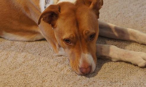 Sammie the cute pitbull mix
