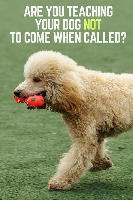 Are you teaching your dog not to come when called?