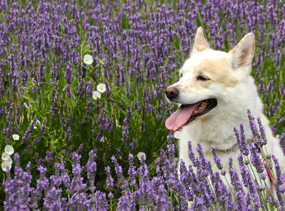 Emma the white and tan dog sitting in purple flowers