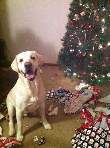Max the yellow Labrador