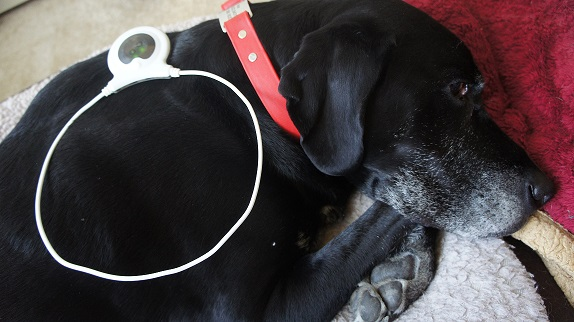 My black Lab Ace with the Assisi Loop - Assisi Loop review