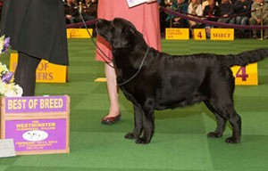 Can we expect to see some fat Labs at Westminster again this year?