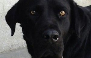 Black Lab for adoption San Diego – meet our foster dog Orie, 5yo