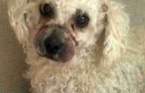 Poodle found with rubber bands wound around muzzle – San Diego
