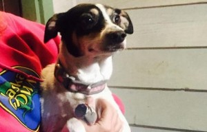 Rat terrier bites man to protect girl from potential abduction