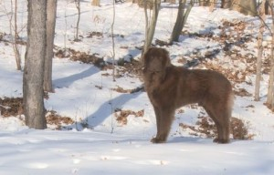 Loose Newfoundland dog avoids capture for more than six months