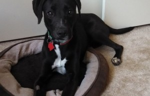 Meet our foster dog, Robin the black Lab mix