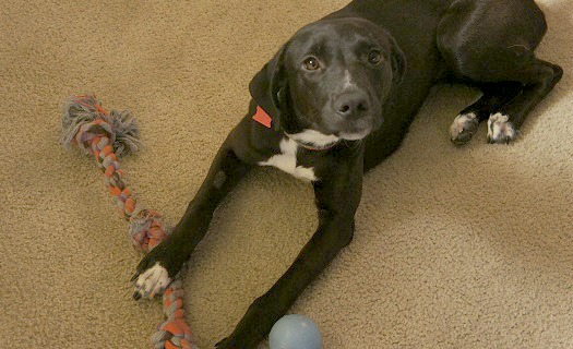 Tips to stop a Lab puppy from chewing