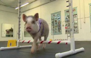 Indoor pig named Amy stars in this Washington dog agility class