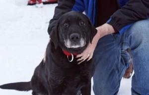 Missing, Blind Labrador Found in Alaska After Two Weeks