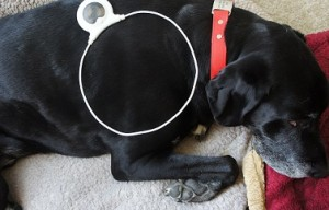 Assisi Loop Helps Dogs With Wound Healing, Arthritis and Surgery