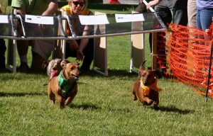 Rescue group tries to ban wiener dog races