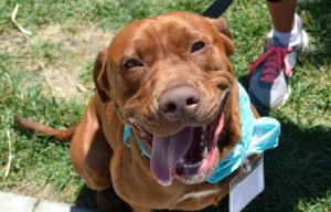 Adopt Rocko the Chocolate Lab Mix in San Diego