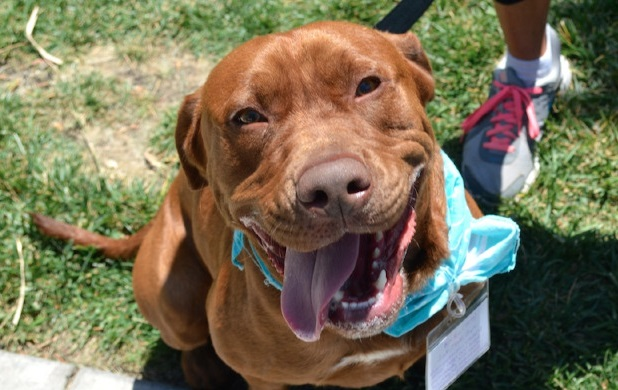 Rocko the Chocolate Lab for adoption San Diego