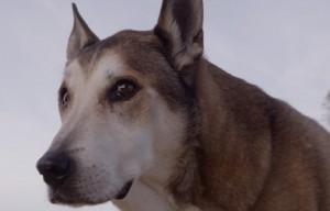 Video Tribute of Dog 'Denali' – Moving 7-Minute Film
