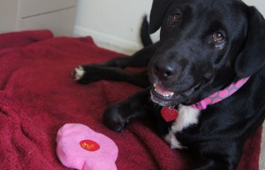 10 Reasons to Adopt MaryLou the Black Lab Mix in San Diego