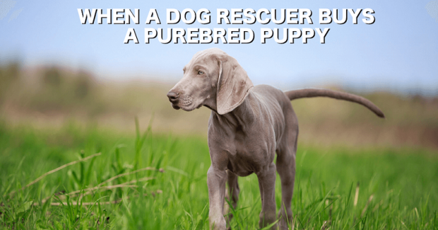 Buying a purebred puppy