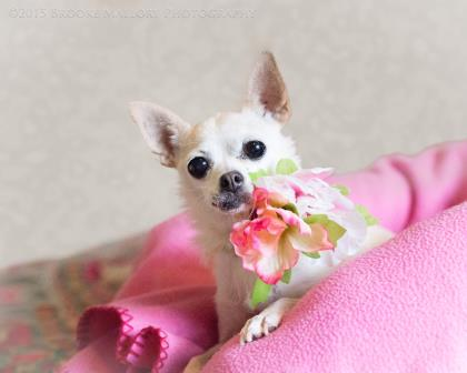 Quinn the Chihuahua for adoption Washington