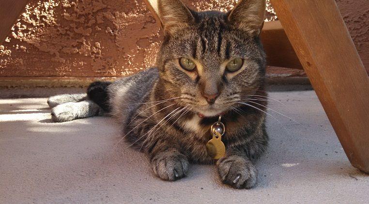 Gray tabby cat on the patio