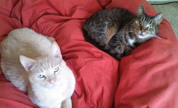 Tan tabby cat and gray tabby cat
