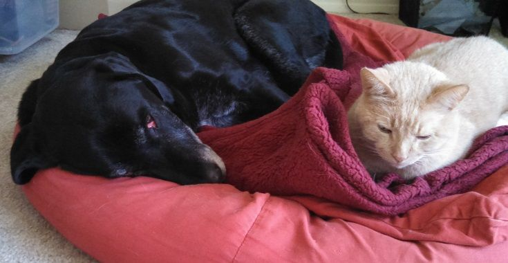 Black Lab and Cat on bed together
