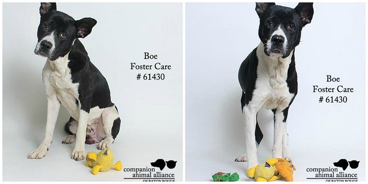 Boe for adoption with Companion Animal Alliance