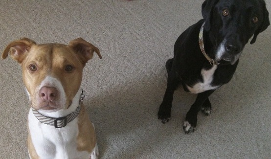 Sammi and Ace - leaving two dogs home together