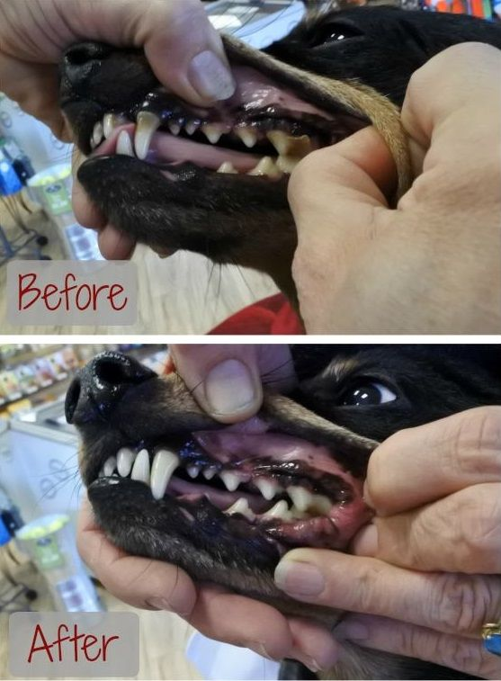 Cleaning your dog's teeth without anesthesia