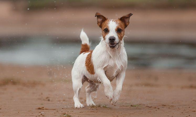 Jack Ruseell terrier