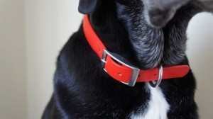 Closeup of my dog's waterproof collar