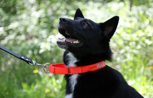 Martingale Dog Collars, an Alternative to Choke Collars