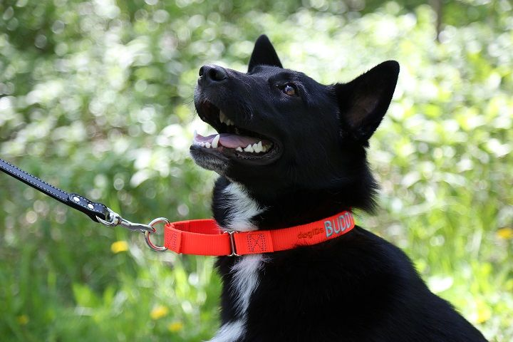martingale collar available at dogids