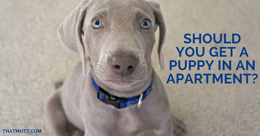 Should You Get A Puppy In An Apartment
