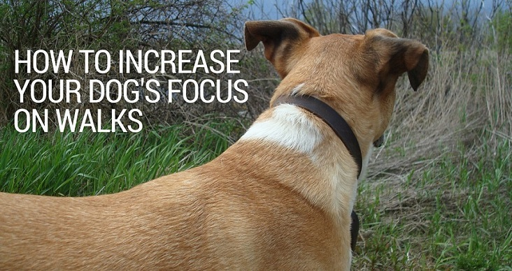 How to increase your dog's focus