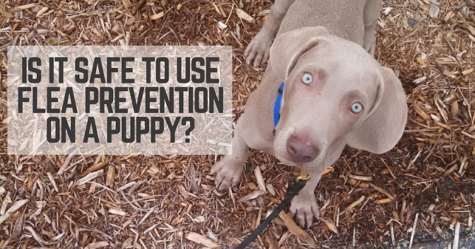 Is is safe to use flea prevention on a puppy?