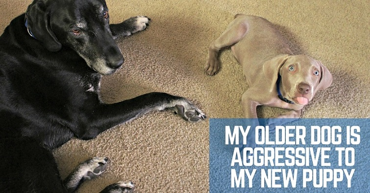 My older dog is aggressive to my new puppy