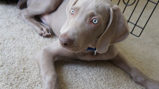 Remy the weimaraner puppy - how to stop my dog from pawing at me
