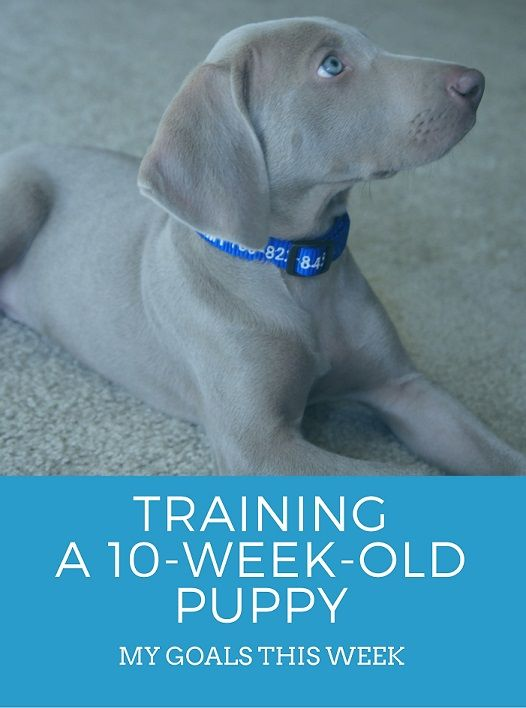 Training a 10 week old puppy