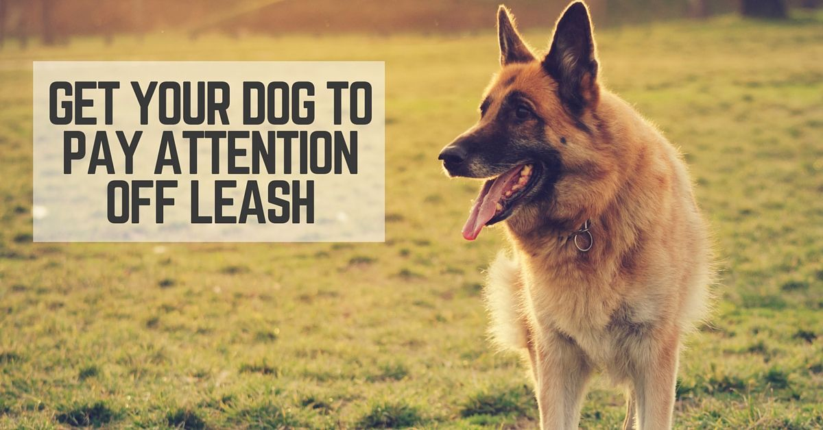 Get your dog to pay attention off leash
