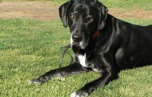 Should You Give a Senior Dog Pain Medication?