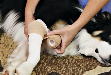 How to wrap a pet's injured paw - Online pet first aid course