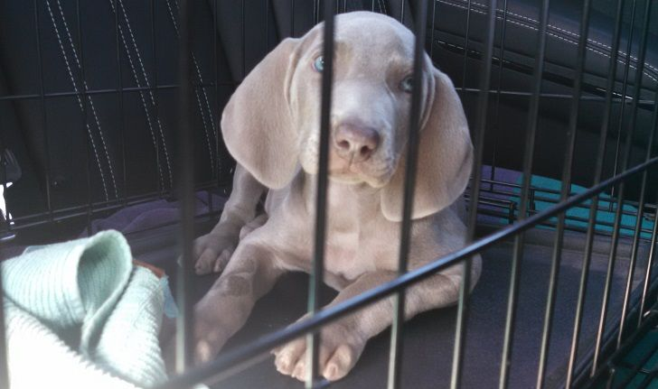 Remy the weimaraner in his kennel